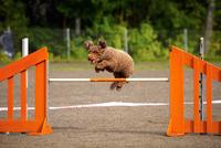 Spanish Water Dog 11098080526| 写真素材・ストックフォト・画像・イラスト素材|アマナイメージズ