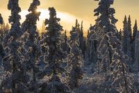 Hoar frost 11098080580| 写真素材・ストックフォト・画像・イラスト素材|アマナイメージズ