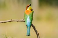 Bee eater bird sitting on tree limb. 11098080589| 写真素材・ストックフォト・画像・イラスト素材|アマナイメージズ