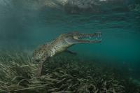 Graceful crocodile