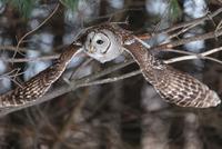 Flying Northern Barred Owl 11098080625  写真素材・ストックフォト・画像・イラスト素材 アマナイメージズ