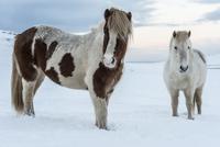 Icelandic horses. 11098080727| 写真素材・ストックフォト・画像・イラスト素材|アマナイメージズ