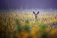 Roe-deer in the morning mist 11098080946| 写真素材・ストックフォト・画像・イラスト素材|アマナイメージズ