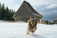 beautiful dog in the snow 11098080971| 写真素材・ストックフォト・画像・イラスト素材|アマナイメージズ