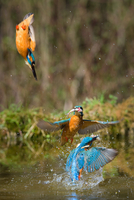 Kingfisher vertical dip