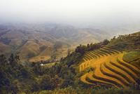 Rice Fields in Vietnam 11098080989| 写真素材・ストックフォト・画像・イラスト素材|アマナイメージズ