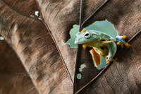 Flying Frog, frog, Hello, Forg on Leaves, Frogs, Looking Around, 11098081138| 写真素材・ストックフォト・画像・イラスト素材|アマナイメージズ