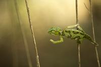 African chameleon in the forest 11098081319| 写真素材・ストックフォト・画像・イラスト素材|アマナイメージズ