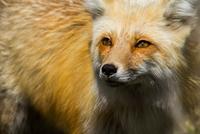 red fox 11098081337| 写真素材・ストックフォト・画像・イラスト素材|アマナイメージズ