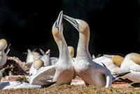 Northern gannets 11098081444| 写真素材・ストックフォト・画像・イラスト素材|アマナイメージズ