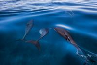 Dolphins 11098081577| 写真素材・ストックフォト・画像・イラスト素材|アマナイメージズ