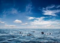 dolphin ocean 11098081610| 写真素材・ストックフォト・画像・イラスト素材|アマナイメージズ