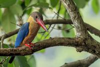 Stork-billed Kingfisher 11098081644| 写真素材・ストックフォト・画像・イラスト素材|アマナイメージズ