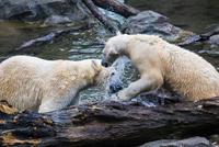 Pair of Polar Bears playing in the water. 11098081823| 写真素材・ストックフォト・画像・イラスト素材|アマナイメージズ