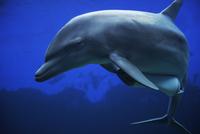Dolphin 11098081850| 写真素材・ストックフォト・画像・イラスト素材|アマナイメージズ