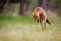 Jumping Fox 11098081859| 写真素材・ストックフォト・画像・イラスト素材|アマナイメージズ