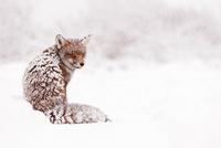 Red Fox National geographic 11098081935| 写真素材・ストックフォト・画像・イラスト素材|アマナイメージズ