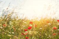 summer wild flowers 11098081954| 写真素材・ストックフォト・画像・イラスト素材|アマナイメージズ
