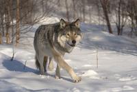 Wolf 11098081966| 写真素材・ストックフォト・画像・イラスト素材|アマナイメージズ
