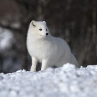Arctic fox 11098081967| 写真素材・ストックフォト・画像・イラスト素材|アマナイメージズ