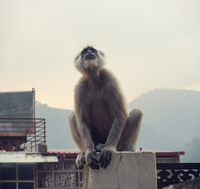 Black langur monkey in Rishikesh 11098082115| 写真素材・ストックフォト・画像・イラスト素材|アマナイメージズ