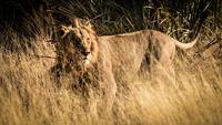The Wind and the Lion 11098082140| 写真素材・ストックフォト・画像・イラスト素材|アマナイメージズ