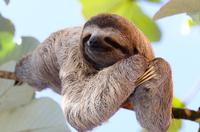 Happy Sloth 11098082327| 写真素材・ストックフォト・画像・イラスト素材|アマナイメージズ
