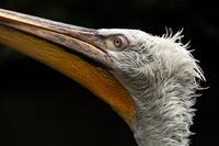 Pelican 11098082345| 写真素材・ストックフォト・画像・イラスト素材|アマナイメージズ