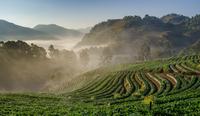Strawberry farm in the mist 11098082523| 写真素材・ストックフォト・画像・イラスト素材|アマナイメージズ