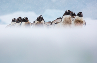 March of the Gentoo's