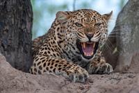Leave the Leopard 11098082589| 写真素材・ストックフォト・画像・イラスト素材|アマナイメージズ