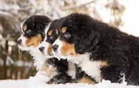 Bernese mountain dog puppets are ready to play 11098082633| 写真素材・ストックフォト・画像・イラスト素材|アマナイメージズ