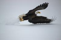 Bald Eagle 11098082842| 写真素材・ストックフォト・画像・イラスト素材|アマナイメージズ