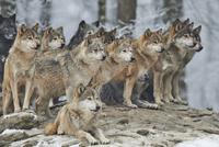 Wolf pack 11098082850| 写真素材・ストックフォト・画像・イラスト素材|アマナイメージズ