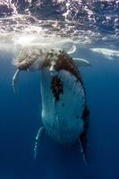 Humpback Whale female with calf 11098082854| 写真素材・ストックフォト・画像・イラスト素材|アマナイメージズ