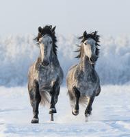 Two galloping Andalusian stallions 11098082882| 写真素材・ストックフォト・画像・イラスト素材|アマナイメージズ