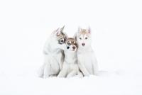 Portrait of a three husky puppies 11098082884| 写真素材・ストックフォト・画像・イラスト素材|アマナイメージズ