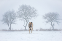 Winter prowler 11098082891| 写真素材・ストックフォト・画像・イラスト素材|アマナイメージズ
