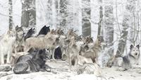 Wolf Pack 11098082900| 写真素材・ストックフォト・画像・イラスト素材|アマナイメージズ