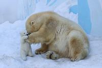 Polar bear with cub. Mother love 11098083083| 写真素材・ストックフォト・画像・イラスト素材|アマナイメージズ