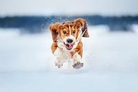 Basset hound Brut 11098083097| 写真素材・ストックフォト・画像・イラスト素材|アマナイメージズ