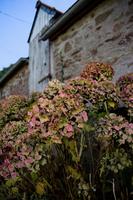 Hortensia_and_the_Barn.tif 11099000282| 写真素材・ストックフォト・画像・イラスト素材|アマナイメージズ