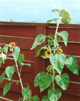 01 sunflowers.tif 11099002594| 写真素材・ストックフォト・画像・イラスト素材|アマナイメージズ