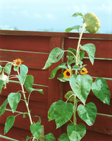 01 sunflowers.tif