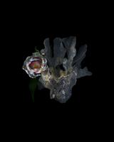 Coral tulip_01.tif 11099002619| 写真素材・ストックフォト・画像・イラスト素材|アマナイメージズ
