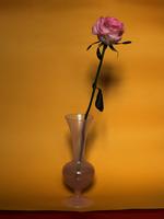 pink rose on yellow_002_2014.tif