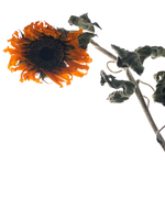 Rui Faria _Dried Sunflower.TIF 11099003437| 写真素材・ストックフォト・画像・イラスト素材|アマナイメージズ