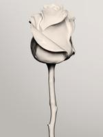 121001_P_Flowers_White_107 2.tif