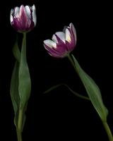 Small purple tulip_01.tif