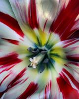 Stripe Tulip_06.tif